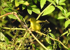Yellow Warbler (GoldenEagle754) Tags: warbler yellowwarbler leaves green sticks newworldwarbler newworldwarblers passerine songbird woodwarblers woodwarbler birdwatching birder bird birds birding wildlife nature outdoors outside animal creature newjersey capemay capemaycounty
