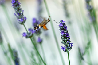 Hummingbird moth -explored-