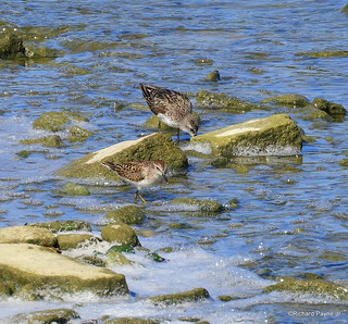 Semipalmated and Least Sandpiper_N8811