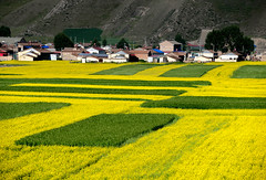 Rapeseed flowers and wheat field 油菜花麥田 (MelindaChan ^..^) Tags: qinghai china 青海 門源 rapeseed flowers wheat field 油菜花麥田 油菜花 麥田 花 麥 田 apartments village life buidling house farmer chanmelmel mel melinda melindachan morning plant agriculture