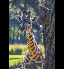 Baby Giraffe - Kilimanjaro Safari - Disney's Animal Kingdom (J.L. Ramsaur Photography) Tags: jlrphotography nikond7200 nikon d7200 photography photo lakebuenavistafl centralflorida orangecounty florida 2016 engineerswithcameras photographyforgod thesouth southernphotography screamofthephotographer ibeauty jlramsaurphotography photograph pic waltdisneyworld disney disneyworld kilimanjarosafari happiestplaceonearth wheredreamscometrue magical tennesseephotographer imagineering disneyanimal waltdisneyworldresort nature outdoors god'sartwork nature'spaintbrush animalkingdom disneysanimalkingdom giraffe babygiraffe masaigiraffe maasaigiraffe kilimanjarogiraffe giraffacamelopardalistippelskirchi animal world'stallestterrestrialmammal macro macrophotography closeupphotography closeup dof depthoffield bokeh disneyportrait