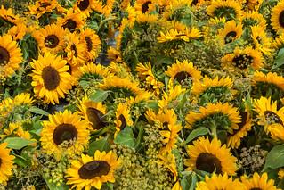 Das Sonnenblumenmeer