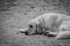 Pensive ... (fabakira) Tags: fabakira fabakiraphotography fabakiraphotography2017 nikon d7000 sigma sigma70200 goldenretriever chien dog regard monochrome nb bwworldwithnikon nikonphotography nikonphotographers nikonartists bokeh