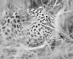 Safari-47 (Davey6585) Tags: travel traveling world southafrica africa safari tydonafricansafaris tydonsafaris tydon sabisands sabisandsprivategamereserve sabisandsgamereserve pantherapardus leopard africanleopard cat bigcat bigfive big5 animal animals wildlife wildanimals