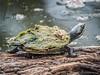 I Think I Need Harvesting! (gecko47) Tags: reptile turtle krefftsriverturtle emyduramacquariikreffti small townsvillepalmetum lagoon sunning log shell carapace weedgrowth freshwater townsville