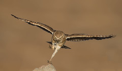 How to land when carrying food. (knobby6) Tags: burrowingowl birdofprey bird california nikon