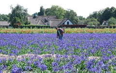 at work (hub en gerie) Tags: work agapantus blue heerle northbrabant netherlands veld bloemen noordbrabant nederland blauw nature platinumheartaward