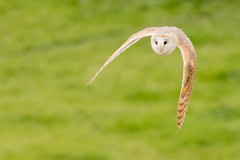 Barn Owl (Andrew_Leggett) Tags: barnowl tytoalba bird birdofprey hunting dusk inflight onthewing nature natural owl headon