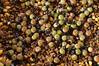 Frailea castanea (Awavi) Tags: frailea