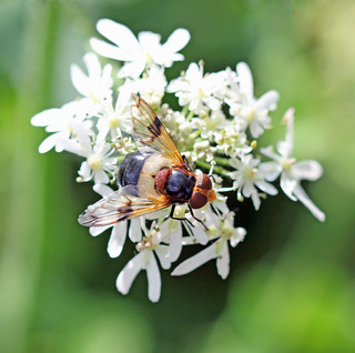 Large Pied Hoverfly (Volucella pellucens)