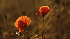 Summer evening (pszcz9) Tags: polska poland roztocze przyroda nature natura kwiat flower zbliżenie closeup mak poppy bokeh beautifulearth sony a77