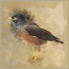 It is not only fine feathers that make fine birds. (Aesop) (boeckli) Tags: bird vogel animal tier texture textures textur texturen sevenstyles watercolor wasserfarben photoshopaction pscc outdoor australia newsouthwales indianmyna indianmynah feathers federn aesop sydney photoborder magicunicornverybest