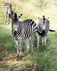 Three zebras, Pilanesberg, South Africa (Knud Hald) Tags: 2017 africa birdwatcher entabeni fuji fujixt10withfujinonxf1855mmf284rlmois fujinonxf1855mmf284rlmois honeyuiderangerscamp knudhald limpopo outdoor pilanesberg pilanesbergsouthafrica2017 safari southafrica wildlife ngc albatrostravel fujix fauna animaladdiction animalwarior animal animallover mammal beautiful zebra horse green group three 500v20fav