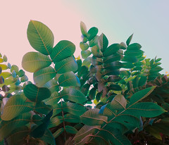 Emerald foliage (Andrei Grigorev) Tags: foliage leaves tree botanical nature abstract pattern