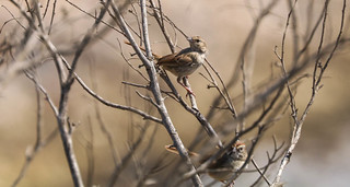 Rufous-crowned Sparrows Point Vicente  Palos Verdes Peninsula California  127
