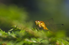 (amy20079) Tags: dragonfly insect bug nikond5100 newengland gold macro bokeh outdoors nature naturallight pinetree branch goldenhour pineneedles