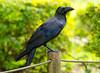 Jungle Crow (CheeToS0) Tags: bird crow japan junglecrow largebilledcrow thickbilledcrow tokyo yoyogikoen yoyogipark