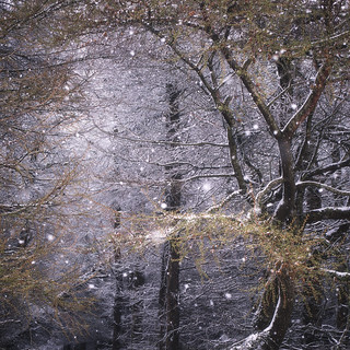 Larch wood in Spring blizzard