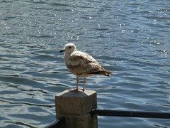Seagull (Elad283) Tags: holland haag hague thehague denhaag netherlands nederland seagull gull