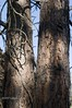 Cedars Along the HCRH Trail, Mosier, Oregon (Gary L. Quay) Tags: tree mosier oregon cedar hcrh nikon vintage bluemoon camera gary quay