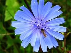 Kleine Schwebfliege in blauer Blüte. (Wallus2010) Tags: nahaufnahme blüte blau