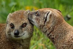 Yellow mongoose (K.Verhulst) Tags: yellowmongoose mongoose vosmangoest mangoest blijdorp blijdorpzoo diergaardeblijdorp rotterdam naturethroughthelens