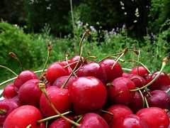A delicious and healthy snack (libra1054) Tags: kirschen cherries ciliegie cerezas cerejas cerises fruits frutti frutas früchte red rosso rojo rouge rot vermelho