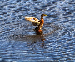 Winging It (Neale H) Tags: duck water animals wings nature