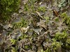 Nephroma parile (davidgenneygroups) Tags: uk scotland lichen nephromaparile nephroma parile foliose corticolous