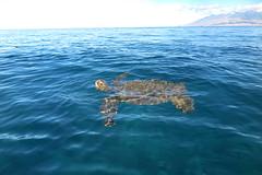 IMG_0040 copy (Aaron Lynton) Tags: air honu turtle hawaiiangreenseaturtle greenseaturtle seaturtle maui hawaii breath breathe ocean