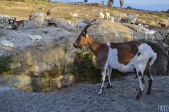 Cabra (Tato Avila) Tags: colombia desierto desiertodelatatacoa naturaleza animal retrato huila nikon color cielo ojos cuernos