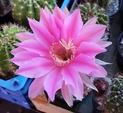 Echinopsis RAB-2012/114_2017-08-23 (rensseak) Tags: echinopsis cactus kaktus