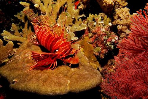 CelebesDivers - underwater 15 (Pterois antennata)