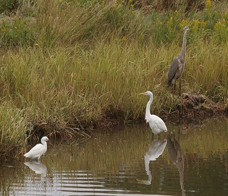 Snowy Egret, Great Egret, & Great Blue Heron, Fore River Sanctuary