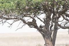 20170917 - Tanzania (1050 von 1444).jpg (Jan Balgemann) Tags: big five bigfive tanzania afrika animals serengeti wildlife