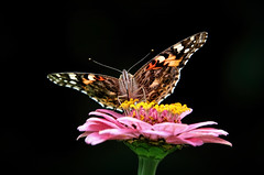 Love for a zinnia (Millie Cruz) Tags: soe butterfly flower colorful zinnia nature insect plant blackbackground outdoors stoeversdampark lebanonpennsylvania pink closeup tamron18400
