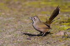 Western Whipbird (chrissteeles) Tags: westernwhipbird whipbird bird birding coffinbaynationalpark eyrepeninsula southaustralia sa