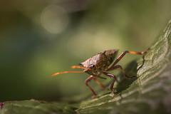 bug (Bea Antoni) Tags: tamron canon makro macro closeup natur nature summer sommer bokeh grün green blatt leaf insekt insect wanze bug