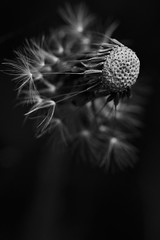 When the wishes have all but gone (laing.lesley) Tags: seedhead seed closeup garden blackandwhite macro summer nature dandelions black