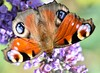 Tagpfauenauge (kristine211) Tags: edelfalter insekt macro macroaufnahme butterfly tagpfauenauge schmetterling