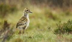 A cute Golden Plover (Pluvialis apricaria) chick 2017. (Sandra Standbridge.) Tags: goldenplover pluvialisapricaria chick young bird nature outdoor wildandfree wild moors