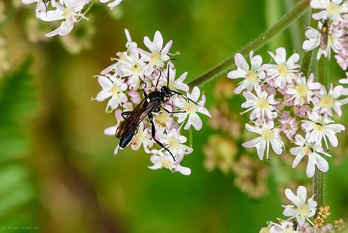 Ichneumon Wasp (Amblyjoppa proteus), female