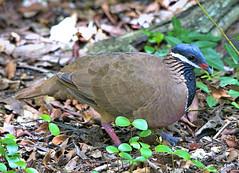 _CU12730 -1e (barbadosbirds) Tags: bcphotocontest2017 endemics