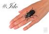 #Ido (Franziska Bauer) Tags: prionuscoriarius cerambycidae bockkäfer sägebock tanner sawyer käfer beetle coleoptera hand ido wedding marriage weddingring