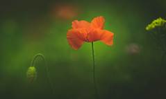 In the limelight (Dhina A) Tags: sony a7rii ilce7rm2 a7r2 samyang 135mm f20 f2 samyang135mmf20 bokeh bokehlicious smooth soft creamy limelight flower poppy red green