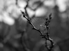 Wet web (TPStearns) Tags: rx1 spiderweb mist blackwhitepassionaward monochrome blackandwhite macro