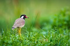 Red-wattled lapwing (shoothekuruvi) Tags: birds indianbirds nikon wildlife d750 nikon600 lapwing green monsoon dof