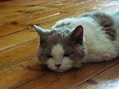 "Sleeping ""hard"" (Antiphane) Tags: cat chat chaton kitten selkirk rex animal de compagnie pet"