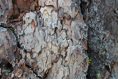 Jigsaw puzzle on tree bark (rozoneill) Tags: lassen volcanic national park chaos crags crag lake manzanita wilderness hiking california redding