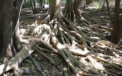 Small leaf Fig (Ficus obliqua) (Poytr) Tags: ficus ficusobliqua moraceae smallleaffig stranglerfig mountannanbotanicgardens arfp nswrfp qrfp roots root